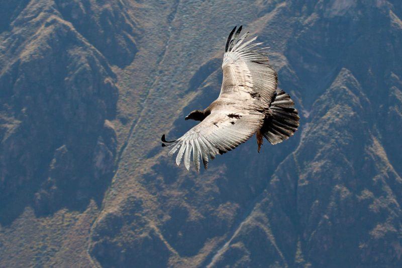 каньона Колка - полета на кондора
